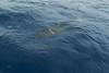 On the last day of our trip, the dusky shark reappeared on the surface by our boat.