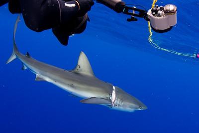 Dusky Shark Rescue