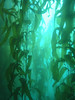 Kelp forest at about 40ft.