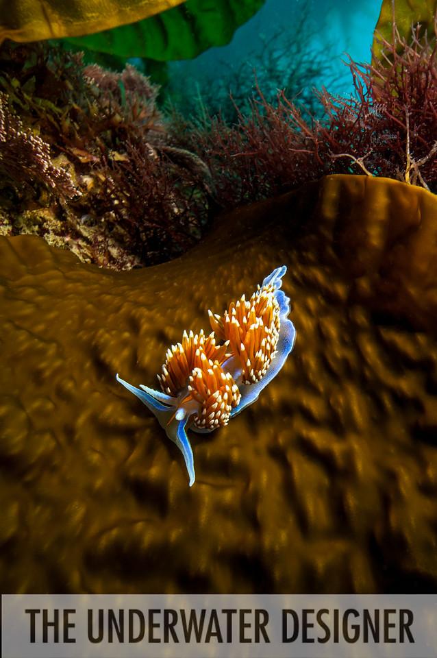 Nudibranch, Catalina Island, California