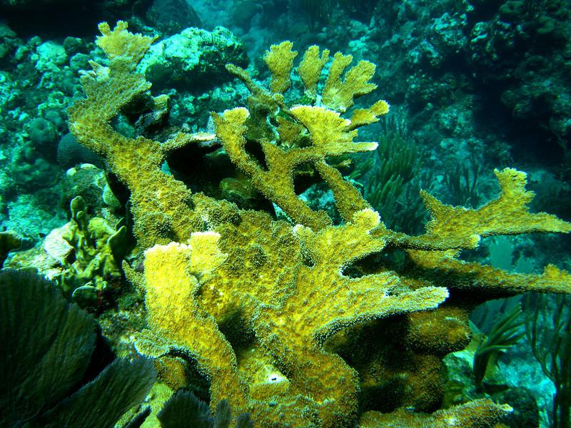 Elkhorn Coral, making a good comeback after Hurricane Ivan