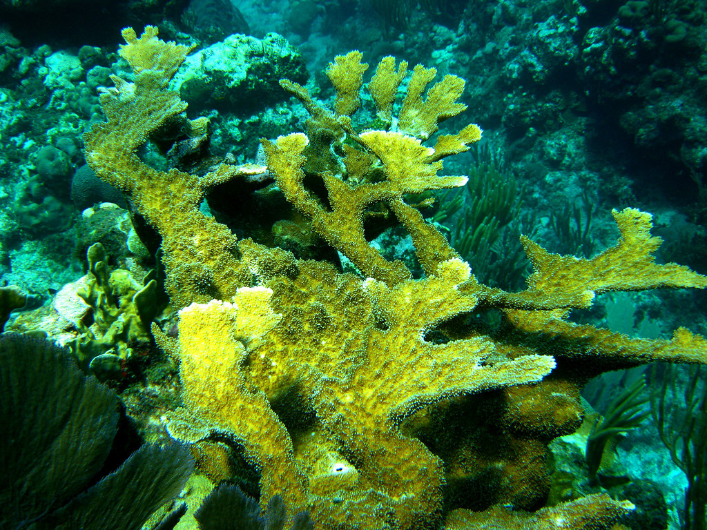 Elkhorn Coral, making a good comeback after Hurricane Ivan