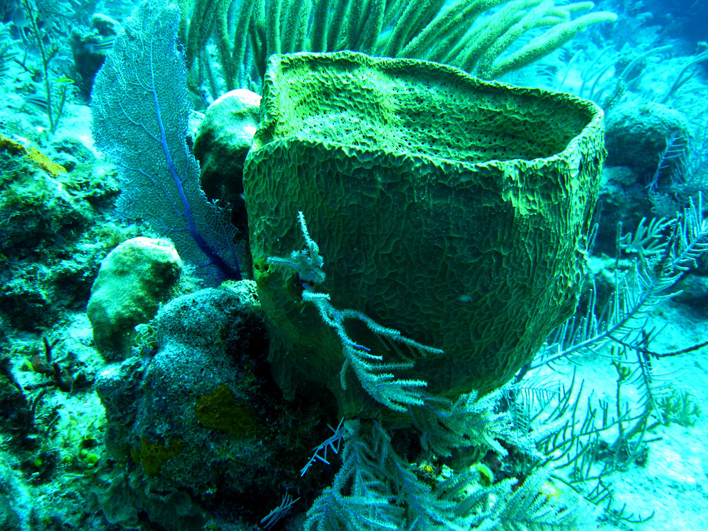 Barrel sponge, about 2.5 feet across.