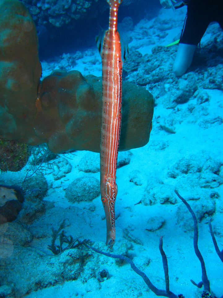 Trumpetfish, trying to hide.  They go vertical in an attempt to make you think they are part of the reef.  It may work with their enemies, but I've never been fooled by one.