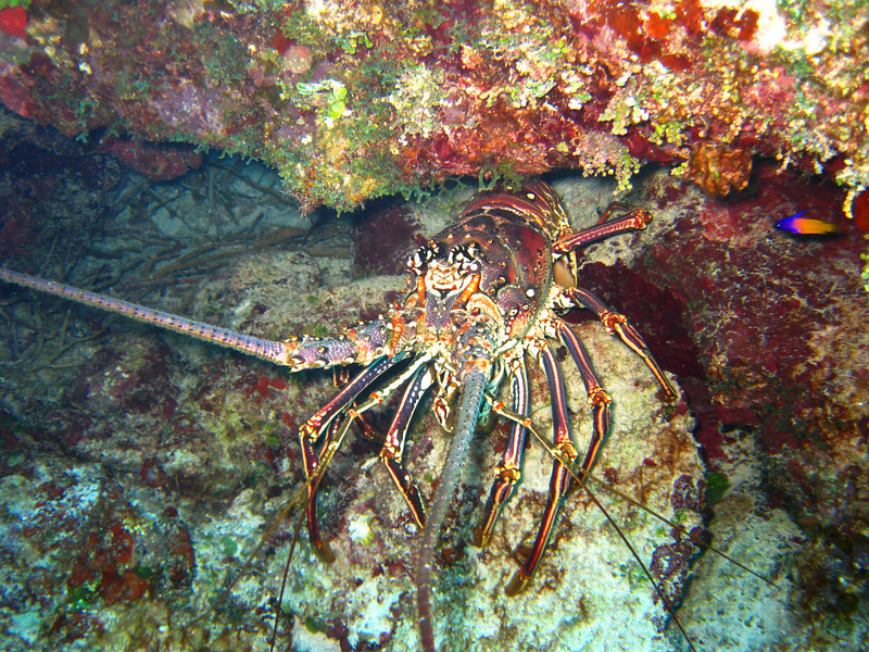 Caribbean lobster have no front claws, but nice large tasty tails.