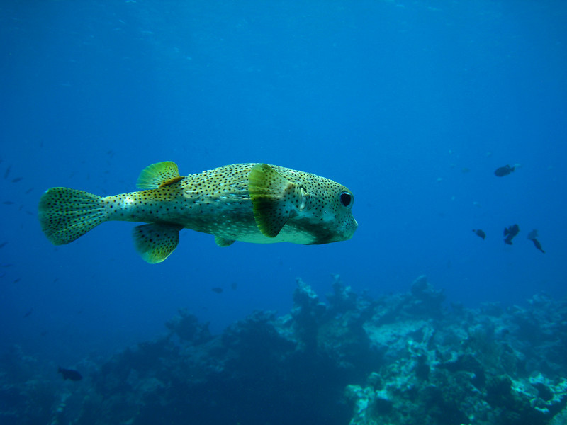 Porcupinefish, uninflated, about 14 inches in length.