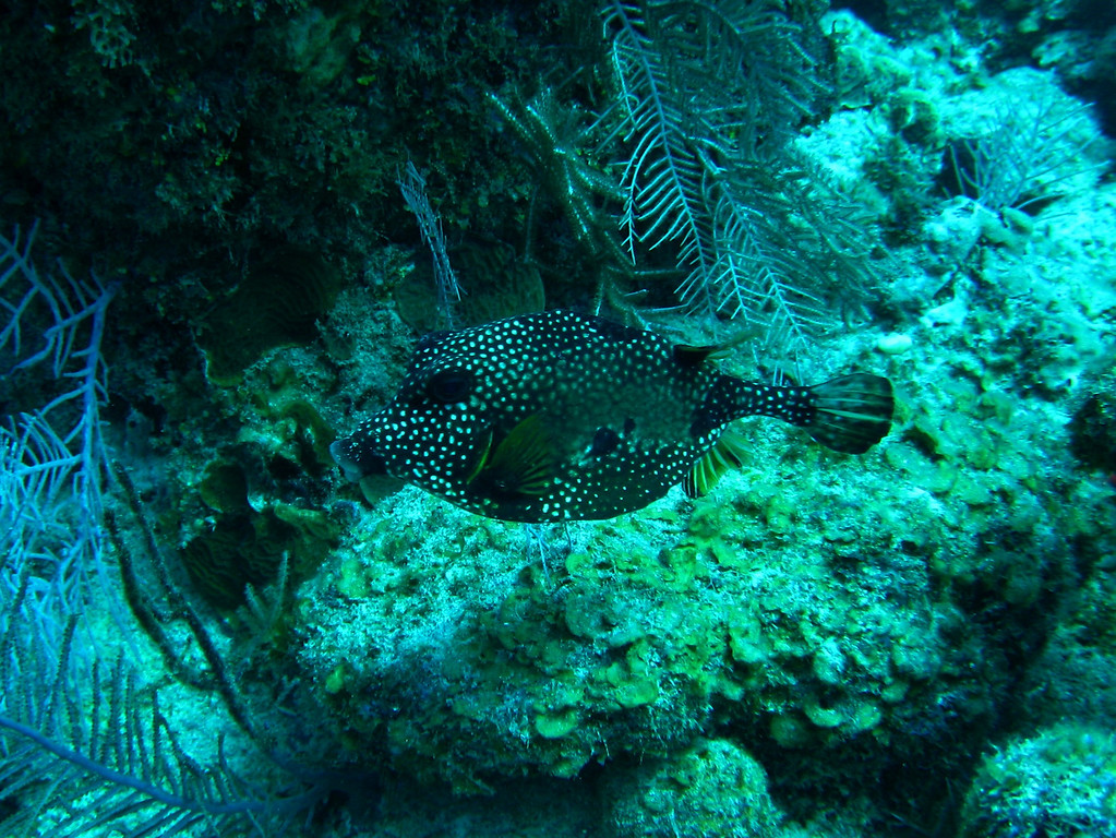 Trunkfish, about 6 inches in length.  Viewed in cross-section, these are triangular, with a wide, flat bottom.  They must not taste good to their predators, because they are so oddly shaped, they can't swim very fast, and I don't know how they could survive otherwise.