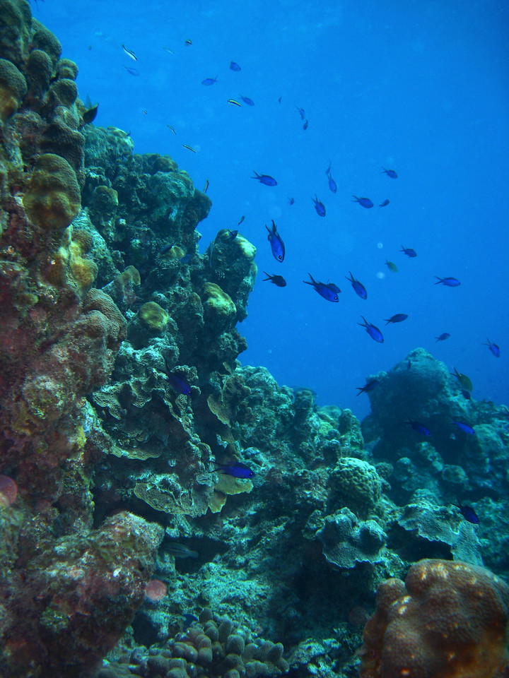 Coral and Blue Chromis