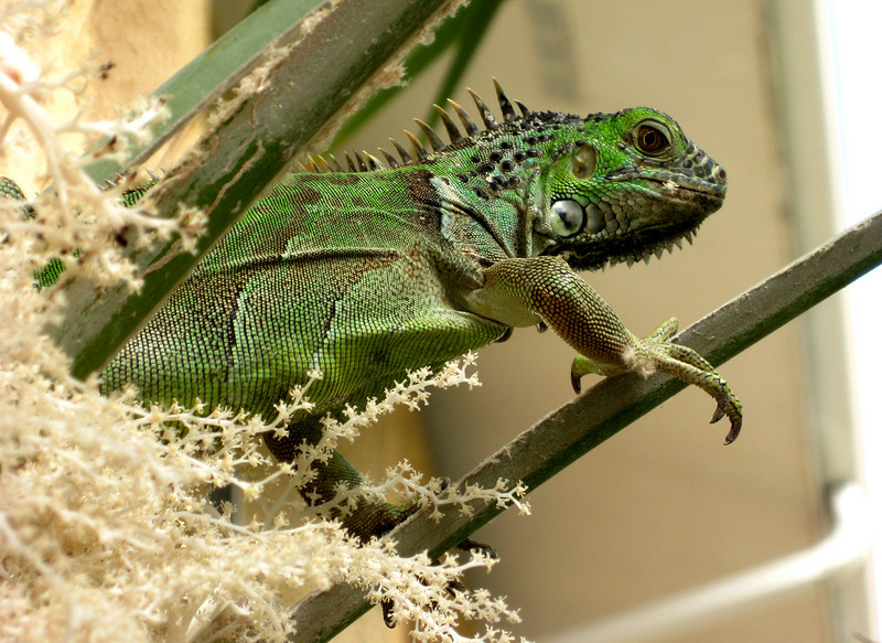 One of many iguanas roaming around.  This one apparently finds the palm flowers quite tasty.