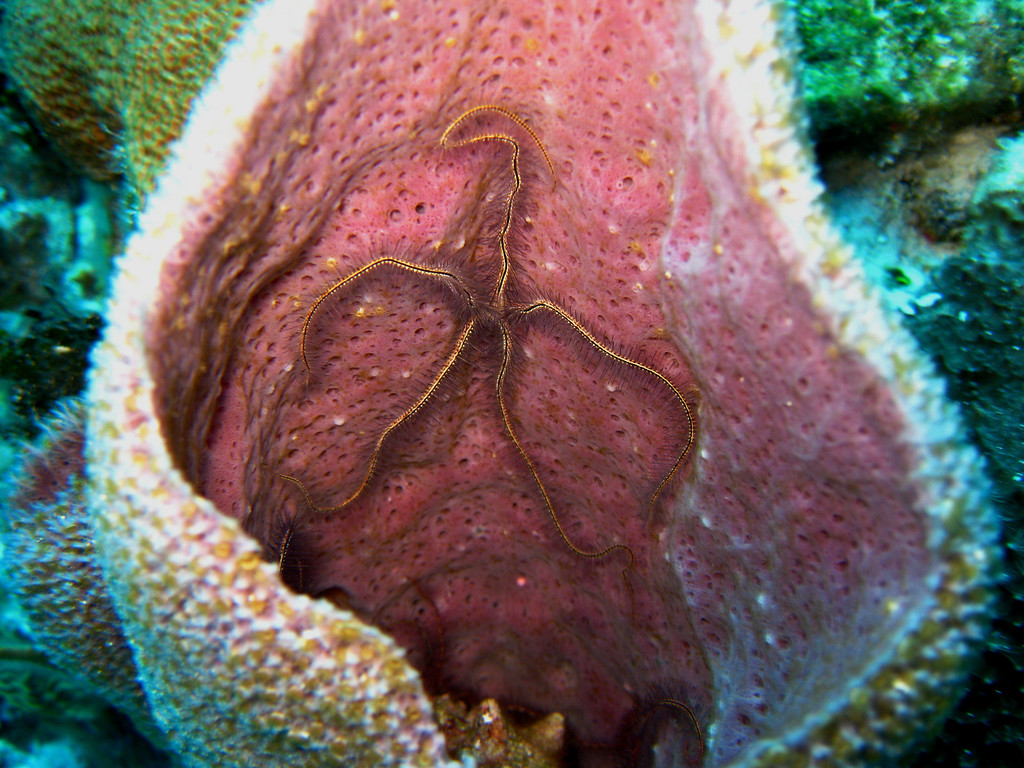 Brittle Star in purple vase sponge