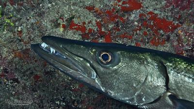 Great Barracuda;