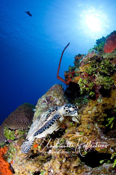 We saw Hawksbill turtles on almost every dive!