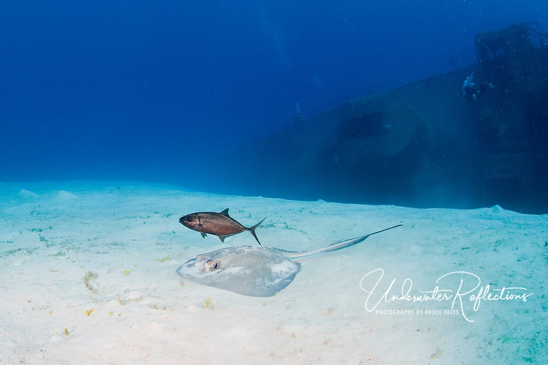 "A Southern Stingray and ""companion jack"" (a tag-along hoping to get a morsel when the stingray finds something in the sand to eat) swim along the sand near the wreck."
