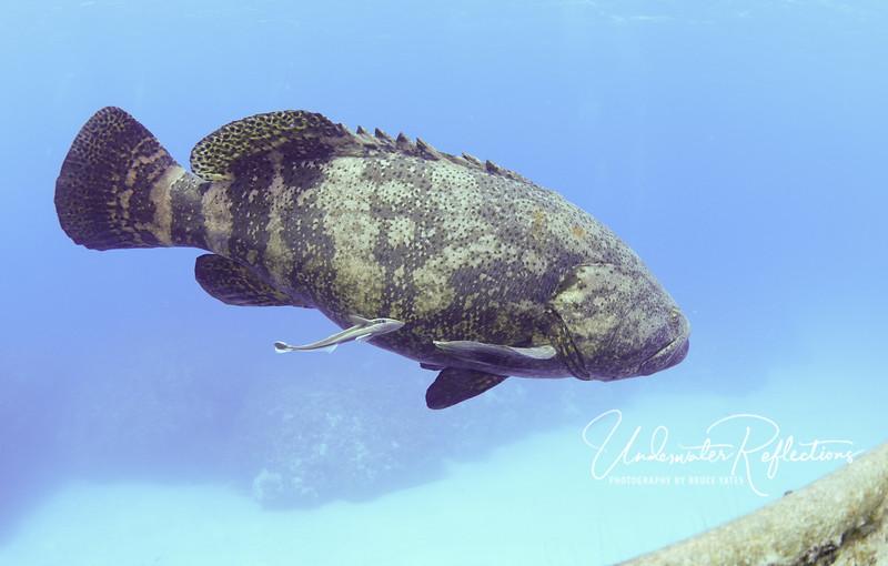 Goliath Grouper with remora