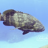 Goliath Grouper with remora