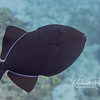 Black durgon triggerfish (8-inches)