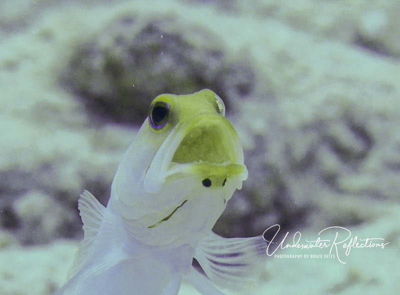 Male Yellow-headed Jawfish (note eggs in his mouth)