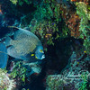 French angelfish (a different one) under outcropping with sponges and green calerpa