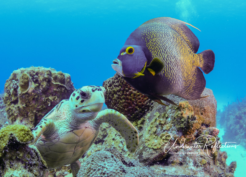 Hawksbill turtle with French Angelfish portrait