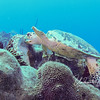 Hawksbill Turtle eating sponge