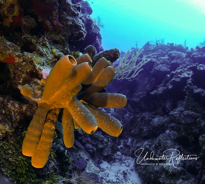 Colony of vase sponges