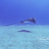 Spotted eagle ray, moving on after munching something in the sand.