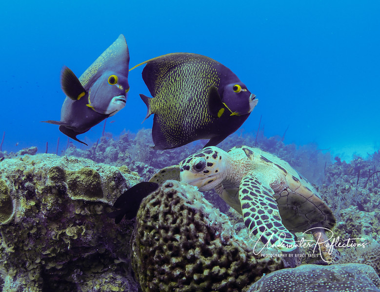 Hawksbill Turtle and Pair of French Angelfishes