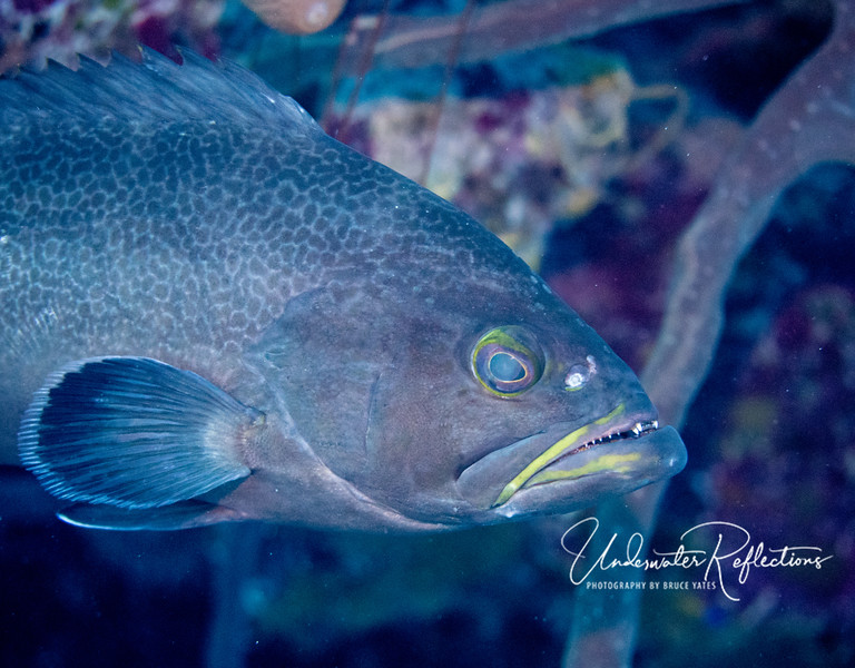 Yellow-mouth grouper