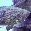Goliath Grouper  (5 ft long, 2 ft thick!) that lives on/in Kittiwake