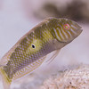 Rockmover Wrasse (adult) - 3-4 inches