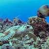 Hawksbill turtle portrait with French angelfish