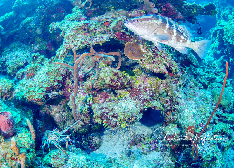 Spiny lobster (bottom left) and Nassau Grouper (top right)