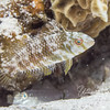 Dragaon Wrasse (aka, juvenile Rockmover Wrasse) - 2 inches