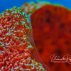 Red vase sponge detail