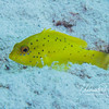 Juvenile Yellow Coney (2 inches)