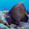 French angelfish (size of dinner plate)