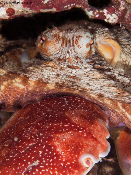 Octopus-crab-P1213500-Edit