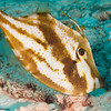 OrangeFilefish-CA255932-Edit