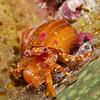 OrangeHermitCrab-CA158450-Edit