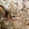 Velvet-shrimp-CA155472-Edit
