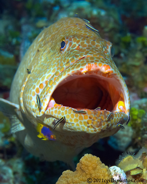 Grouper-cleaning-CA074706