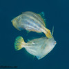 OraneSpottedFilefish-pair-CA240270-Edit