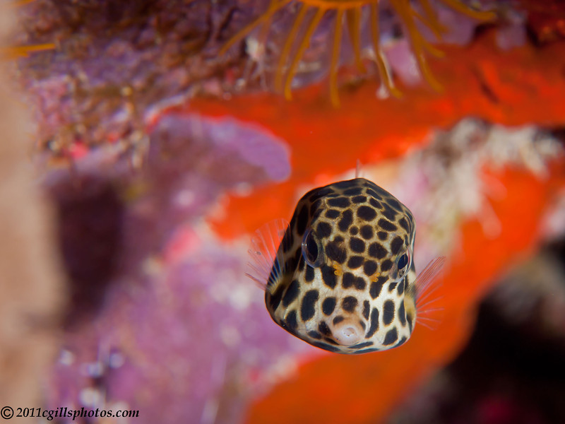 Trunkfish-juvenile-P1223747-Edit