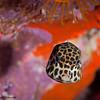 Trunkfish-juvenile-P1223747-Edit