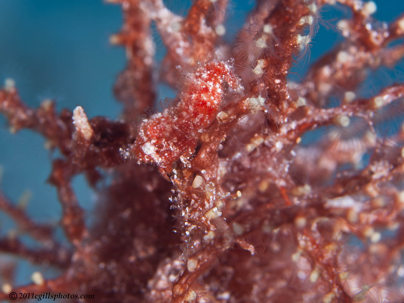 Red-Plume-shrimp-CA051872-Edit
