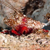 Decorator-Crab-skeleton-shrimp-2CA031449-Edit