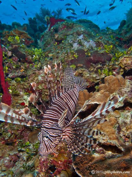 Lionfish-reef-WA-CA074763-Edit