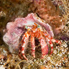 Stareye-Hermit-Crab-2CA021254-Edit