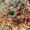 MushroomScorpionfish-eye-CA219464-Edit