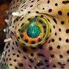 Bridled-Burrfish-2P2044259-Edit